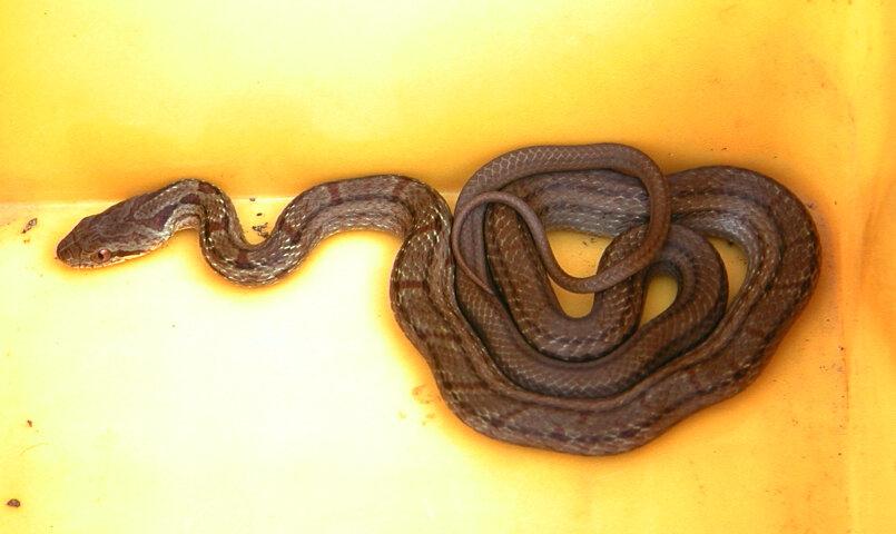 シマヘビの画像 p1_24